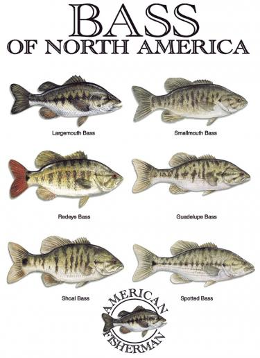 Bass Of North America